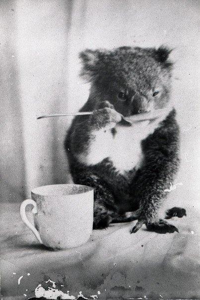 Питомец коала пьет из ложки