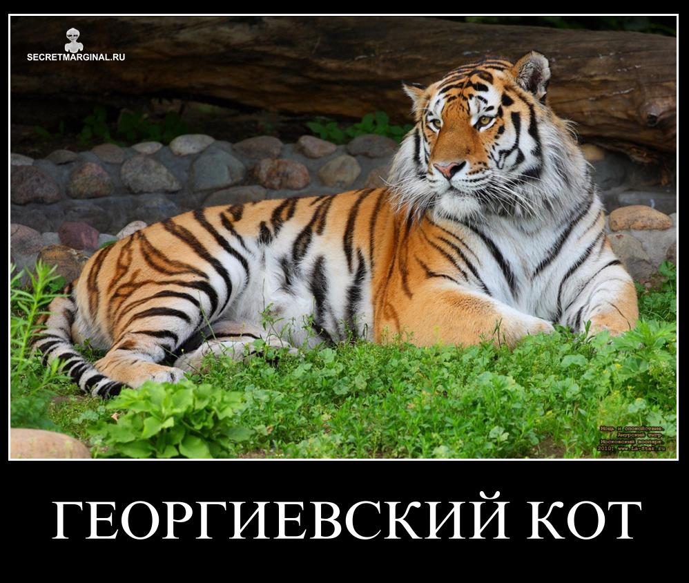 георгиевский кот