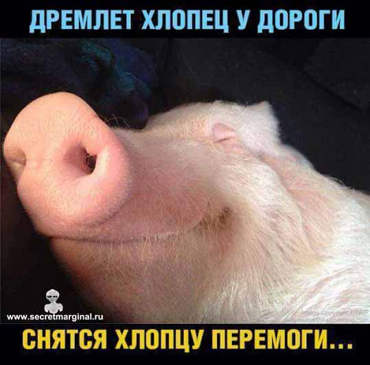 свинья хохол