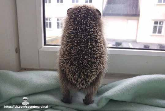 Ёжик у окна