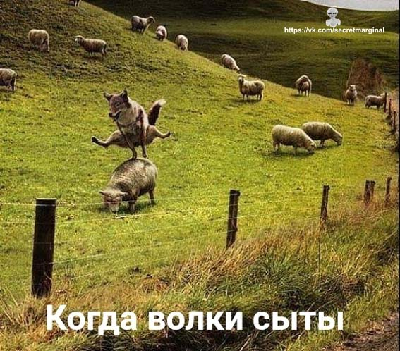 волки сыты